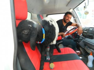 kuzu sahibi ile kamyonda
