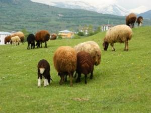 otlayan koyunlart